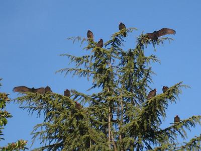 Turkey Vultures 12:2009 5