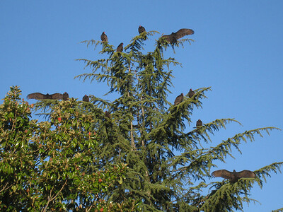 Turkey Vultures 12:2009 4