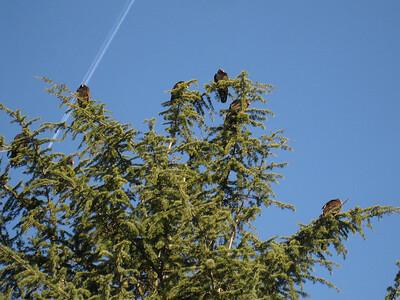 Turkey Vultures 12:2009 3