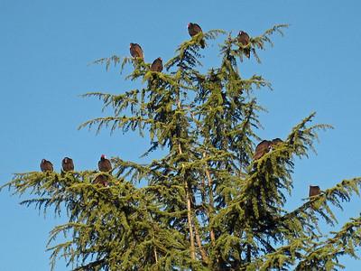 Turkey Vultures 12:2009 2