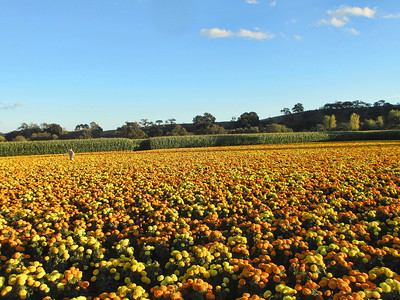 Uesugi Farm, Morgan Hill007