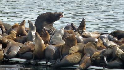 Moss Landing Seals003