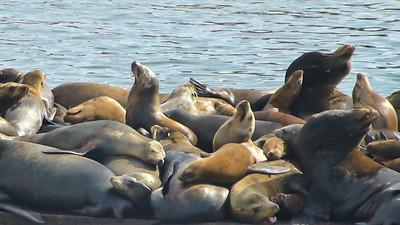 Moss Landing Seals004