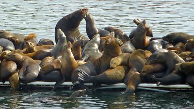 Moss Landing Seals002