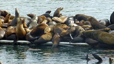 Moss Landing Seals001