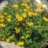 Lantana through a lens