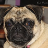 Sadie .... and one of her many looks!  <br /> Pugs have very strong personalities!