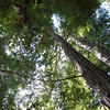 Tall redwood trees July 2009
