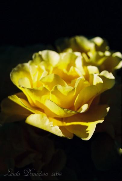 Rose July 2009