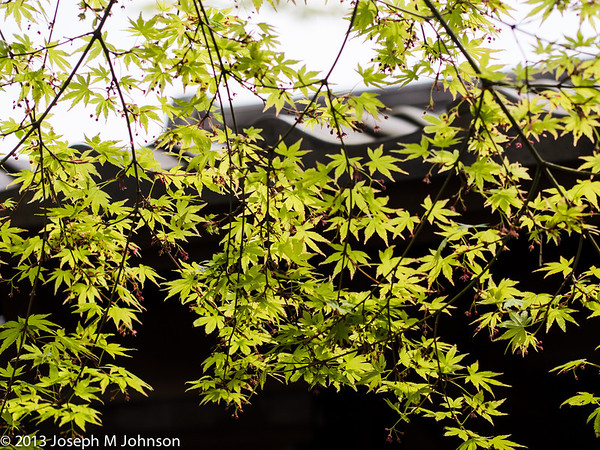 Spring Maple Leaves