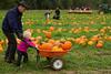 Pumpkin hunting at Mosby's Pumpkin Patch