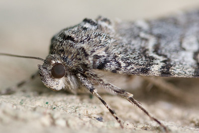 Isn't the eye neat on this moth?