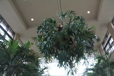 enormous staghorn fern