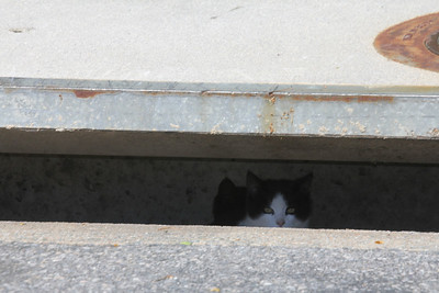 kittens living in storm sewer