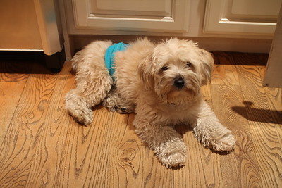 life can be humiliating in a doggie diaper
