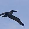 Pelican_MG_1843