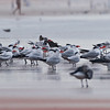 Terns_MG_1854