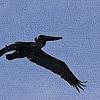 Pelican 01_MG_1843