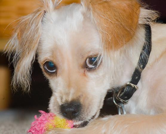 Walter rat terrier-4