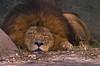 Lion-0032