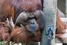 orangutang-0115