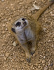 meerkat-0073