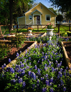 Bluebonnet garden-7727
