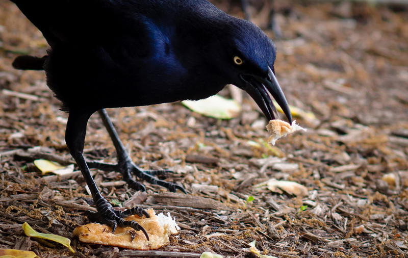 Blackbird-7404