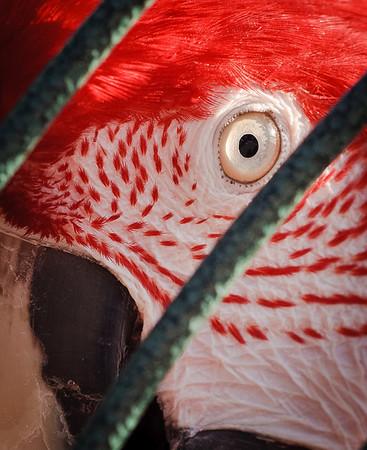 Scarlet Macaw-7178-2