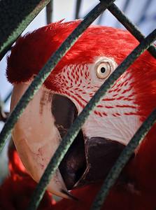 Scarlet Macaw-7178