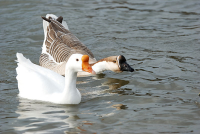 Granbury Geese 122008