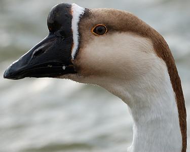 Swan Goose Closeup 122008