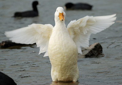 Swan Goose Angel