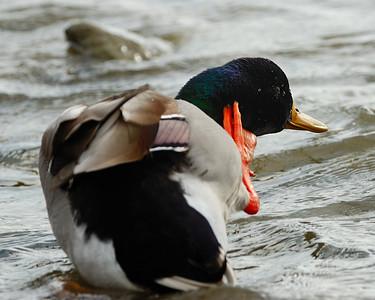 Duck Scratching 122008