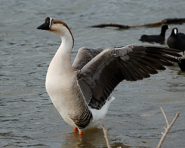 Swan Goose 122008