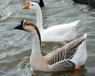 Swan Geese 122008