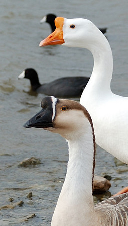 Swan Geese Profiles