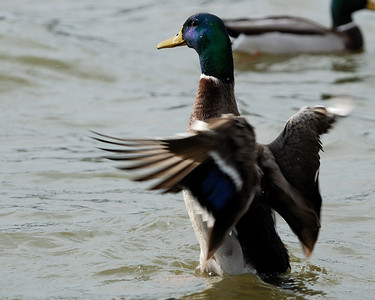 Mallard flapping wings