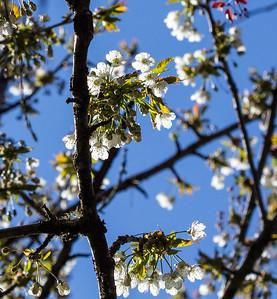 Cherries ABloom