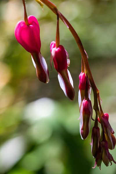 Bleeding Hearts Bleeding