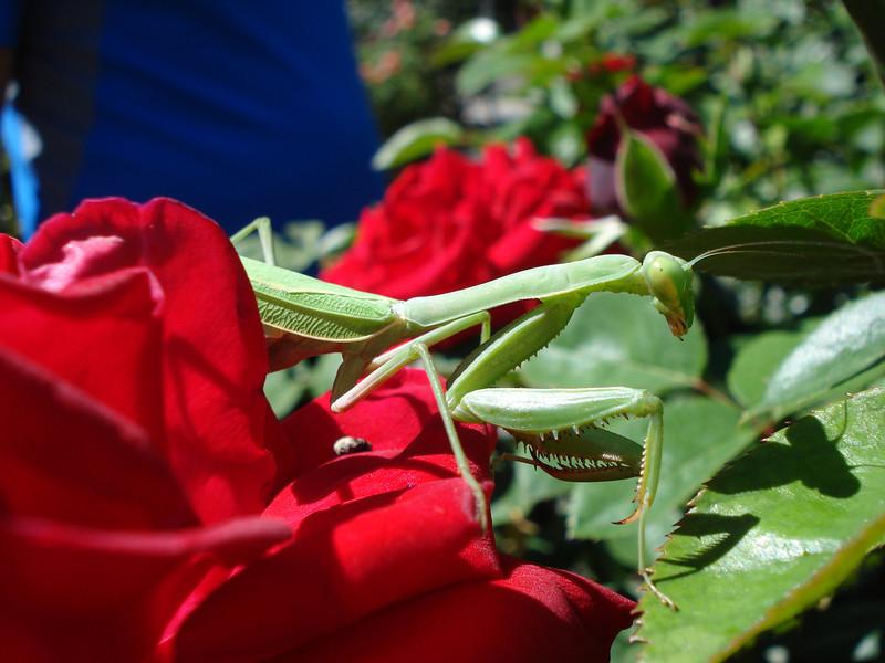 Capital Rose Garden Praying Mantis 09-20-2012