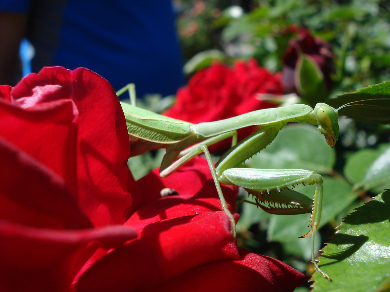 Capital Rose Garden