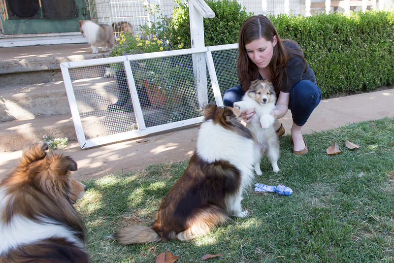 At Destiny Shelties, 5/18/13. MK and Farley with his mom.
