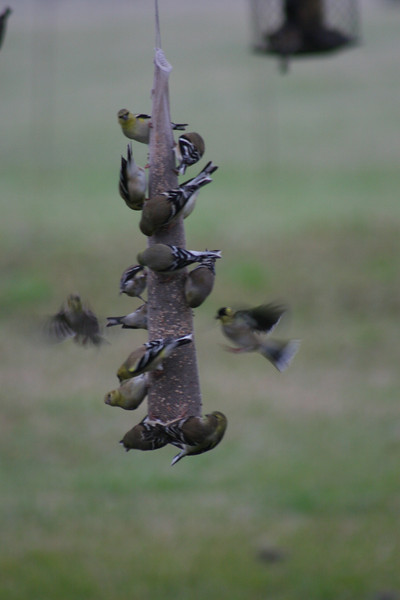 Dad (Clyde) wrote:<br /> We have eleven feeders and this is one of them. All of them are loaded and fight to get on one of them. The ground is covered with Gold Finch and hundreds in the trees just awaiting their chance.<br /> Blessed beyond measure...Love, Clyde
