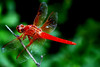 Fire Skimmer Dragon Fly