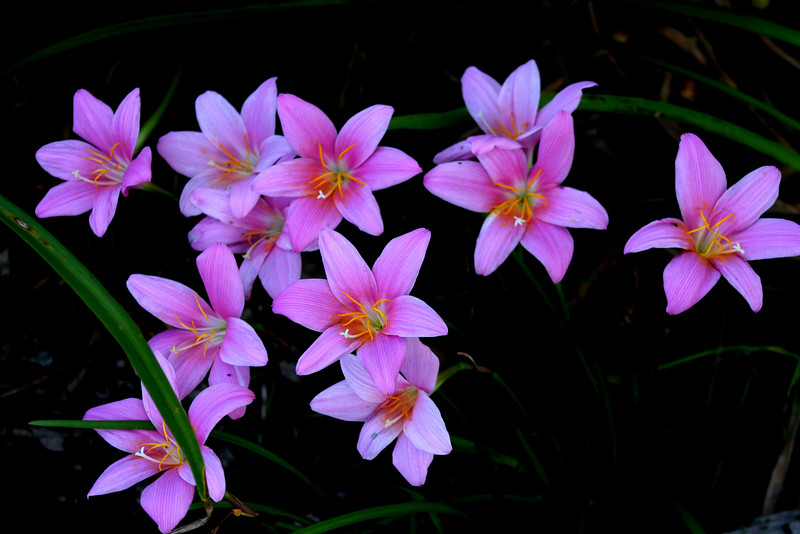 I snapped this photo today of some Rain Lilies. They are from bulbs and come up each year. <br /> <br /> They are in one of our flower beds at the back porch and are very noticeable. Love, CK  7-11-2009