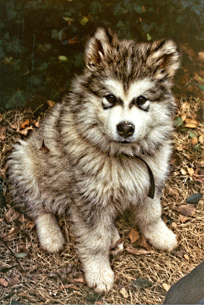 Cochise when he was a puppy (1982?). My family had a malamute named Cochise when I was a kid. So this was Cochise II. Looking back I'm not sure it made sense to raise a malamute in the South.