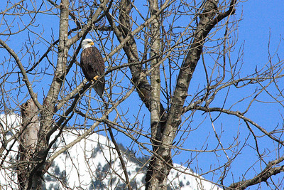 Bald Eagle along the Snoqualmie river in North Bend, WA.  Shot from across the river with Canon 40D and 300mm lens.