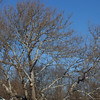 Pinchot sycamore, wide but not that tall