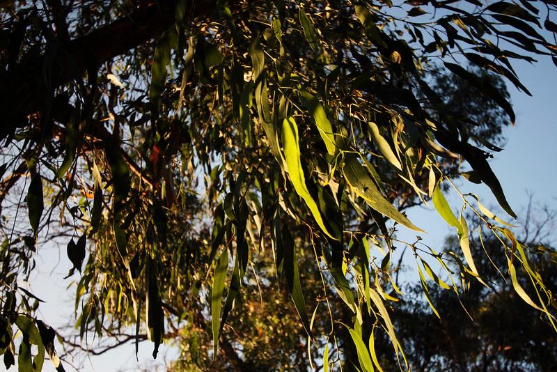 <b>11 Dec 2010</b> Morning light on the gum tree